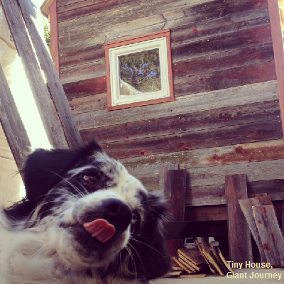 Salies is a natural diva and photo bomber! She appears in front of nice reclaimed wood siding that's been nailed to her tiny home exterior. (Tiny House Giant Journey)